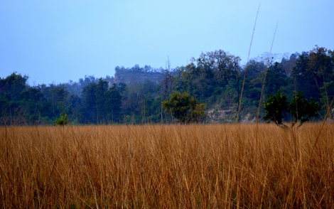 Elephant Grass in Rajaji National Park