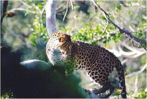 Leopard in Rajaji National Park