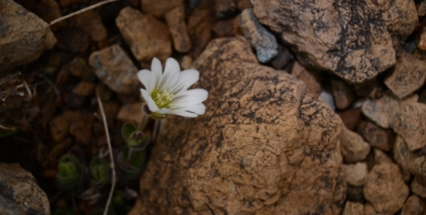 Edmondston's Chickweed