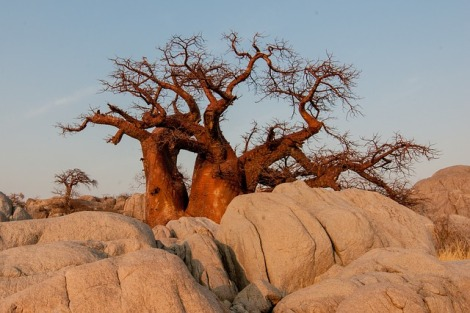 Baobab Tree in Botswana. Photo credit: www.pixabay.com