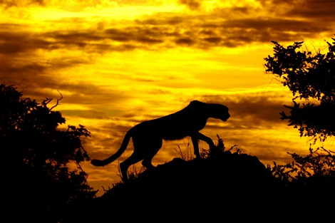 A South African Cheetah searching for prey from a mound in the Okavango Delta, Botswana. Photo credit: www.en.wikipedia.org