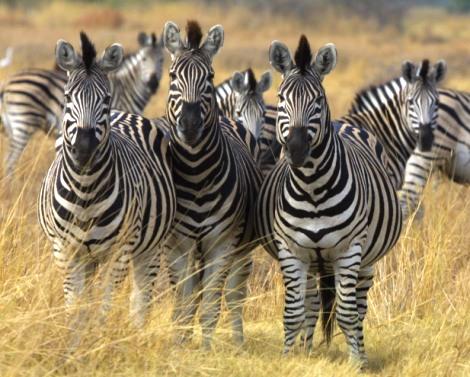 Zebra in Okavango Delta, Botswana. Photo credit: www.en.wikipedi.org