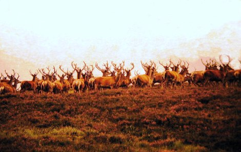Red Deer in the Hills near Kinbrace, Highland, Great Britain |Photo credit: Evelyn Simak