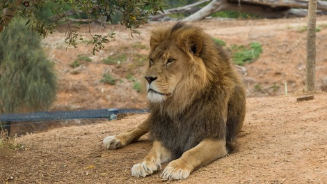 lion-2073292_1280