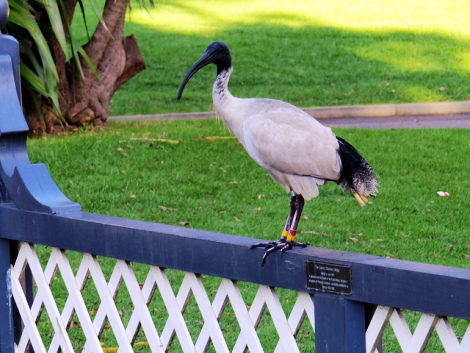 Australian White Ibis in The Royal Botanic Gardens, Sydney | Photo credit: David Berkowitz | Source: www.flickr.com