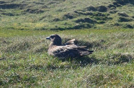 Bonxie in Hermaness Nature Reserve