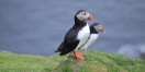 Puffins in Hermaness Nature Reserve